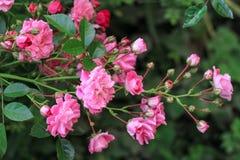 Μπους των ρόδινων μικρών τριαντάφυλλων Στοκ φωτογραφία με δικαίωμα ελεύθερης χρήσης