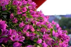 Μπους των ρόδινων όμορφων λουλουδιών Στοκ φωτογραφίες με δικαίωμα ελεύθερης χρήσης