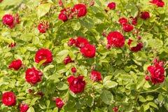Μπους των τριαντάφυλλων Στοκ Εικόνα