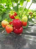 Μπους των ώριμων κόκκινων συστάδων φραουλών με τα πράσινα φύλλα και τα μούρα Στοκ Εικόνες