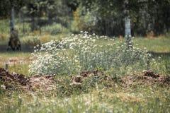 Μπους των chamomiles Στοκ Εικόνα