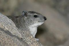 Μπους hyrax ή κίτρινος-επισημασμένος βράχος dassie, brucei Heterohyrax Στοκ Φωτογραφίες