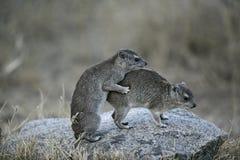 Μπους hyrax ή κίτρινος-επισημασμένος βράχος dassie, brucei Heterohyrax Στοκ φωτογραφίες με δικαίωμα ελεύθερης χρήσης