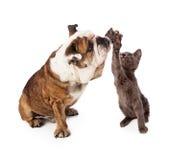 Μπουλντόγκ και γατάκι υψηλά πέντε στοκ φωτογραφία