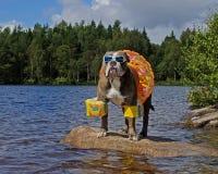 Μπουλντόγκ στη λίμνη με τα floaties επάνω στοκ εικόνες