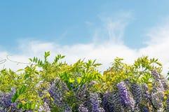 Μπούκλες Wisteria και φύλλα και μπλε ουρανός με τα σύννεφα Στοκ Φωτογραφία