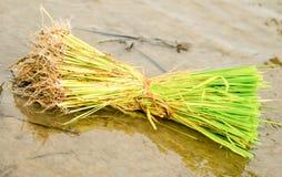 Μπούσελ των σποροφύτων ρυζιού. στοκ εικόνα με δικαίωμα ελεύθερης χρήσης