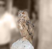 μπούφος Στοκ Φωτογραφία