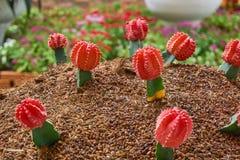 Μπολιασμένοι κάκτοι Ζωηρόχρωμος κήπος κάκτων gymnocalycium Στοκ φωτογραφία με δικαίωμα ελεύθερης χρήσης