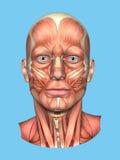 Μπροστινή άποψη ανατομίας σημαντικών μυών προσώπου ενός ατόμου Στοκ Εικόνες