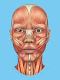 Μπροστινή άποψη ανατομίας σημαντικών μυών προσώπου μιας γυναίκας Στοκ Εικόνα