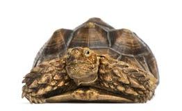 Μπροστινή άποψη ενός κεντρισμένου Αφρικανός Tortoise, sulcata Geochelone Στοκ Φωτογραφία