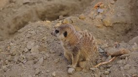 Μπροστινή άποψη λίγων ζώων, suricatta Meerkat Suricata απόθεμα βίντεο