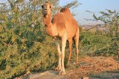 Μπροστινή άποψη της καμήλας δίπλα στους θάμνους Στοκ Εικόνες