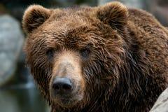 Μπροστινή άποψη της καφετιάς αρκούδας Το πορτρέτο Kamchatka αντέχει στοκ εικόνες