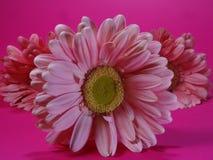 Μπροστινή άποψη της ρόδινης κινηματογράφησης σε πρώτο πλάνο λουλουδιών της Daisy Στοκ φωτογραφία με δικαίωμα ελεύθερης χρήσης