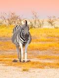 Μπροστινή άποψη του με ραβδώσεις στη σαβάνα Εθνικό πάρκο Etosha, Ναμίμπια, Αφρική Στοκ Εικόνες