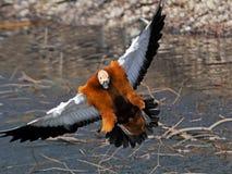 Μπροστινή άποψη του πετώντας κατακόκκινου shelduck Στοκ φωτογραφία με δικαίωμα ελεύθερης χρήσης