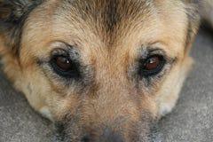 Μπροστινή άποψη του προσώπου του σκυλιού Στοκ Εικόνα