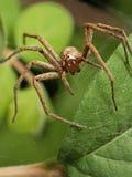 μπροστινή αράχνη βρεφικών στ Στοκ εικόνες με δικαίωμα ελεύθερης χρήσης