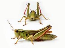 Μπροστινή και πλάγια όψη grasshopper Στοκ εικόνες με δικαίωμα ελεύθερης χρήσης