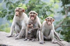 Μπροστινή όψη Μια οικογένεια της συνεδρίασης Macaques του ρήσου μακάκου κοντά σε μια εθνική οδό στην Ινδία Στοκ Εικόνες