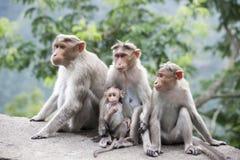 Μπροστινή όψη Μια οικογένεια της συνεδρίασης Macaques του ρήσου μακάκου κοντά σε μια εθνική οδό στην Ινδία Στοκ φωτογραφία με δικαίωμα ελεύθερης χρήσης