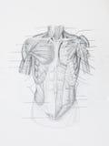 Μπροστινό ανθρώπινο σχέδιο μολυβιών μυών Στοκ φωτογραφίες με δικαίωμα ελεύθερης χρήσης