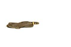 μπροστινό φίδι χλόης Στοκ Εικόνα