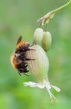 μπροστινό pascuorum υμενόπτερων bombus apidae Στοκ Εικόνες