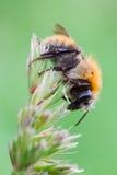 μπροστινό pascuorum υμενόπτερων bombus apidae Στοκ Φωτογραφία
