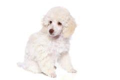 μπροστινό poodle λευκό Στοκ Εικόνες