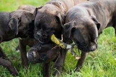 Μπόξερ σκυλιών Στοκ εικόνα με δικαίωμα ελεύθερης χρήσης