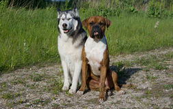 Μπόξερ φυλής σκυλιών Από την Αλάσκα malamute φυλής σκυλιών Στοκ Φωτογραφίες