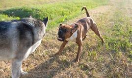 Μπόξερ φυλής σκυλιών Από την Αλάσκα malamute φυλής σκυλιών Στοκ φωτογραφία με δικαίωμα ελεύθερης χρήσης