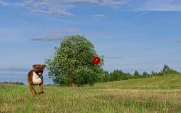 Μπόξερ φυλής σκυλιών Στοκ Εικόνες