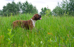 Μπόξερ φυλής σκυλιών Στοκ Φωτογραφία