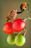 Μπόξερ Mantis με το αυξημένο νύχι Στοκ Φωτογραφία