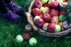 Μπότες κοριτσιών κοντά στο σύνολο καλαθιών των μήλων Στοκ Εικόνες