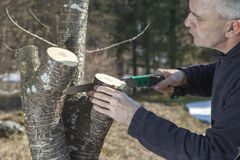 Μέσο ηλικίας να πριονίσει κηπουρών ατόμων, οπωρωφόρο δέντρο κοπής Στοκ Φωτογραφίες