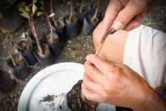Μπόλιασμα durain του δέντρου, δέντρο graftage λεπίδων χρήσης χεριών ατόμων για τη διάδοση εγκαταστάσεων Στοκ Εικόνα
