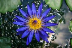 Μπλε άνθη λωτού Στοκ φωτογραφία με δικαίωμα ελεύθερης χρήσης