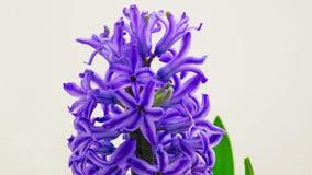 Μπλε άνθιση λουλουδιών υάκινθων απόθεμα βίντεο