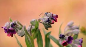 μπλε έντομο Στοκ Εικόνα