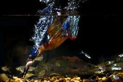 Μπλε-έχον νώτα αρσενικό αλκυόνων †« Στοκ Εικόνες