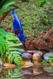 Μπλε-έχον νώτα αρσενικό αλκυόνων †« Στοκ Φωτογραφίες