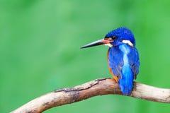 Μπλε-έχουσα νώτα αλκυόνη (αρσενικό) Στοκ εικόνα με δικαίωμα ελεύθερης χρήσης