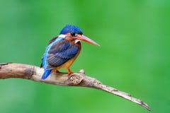 Μπλε-έχουσα νώτα αλκυόνη (θηλυκό) Στοκ εικόνα με δικαίωμα ελεύθερης χρήσης