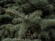 Μπλε έλατο πεύκων Στοκ φωτογραφία με δικαίωμα ελεύθερης χρήσης