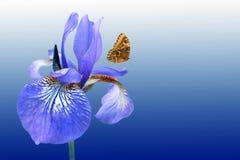 Μπλε ίριδα και πεταλούδα Στοκ Φωτογραφίες